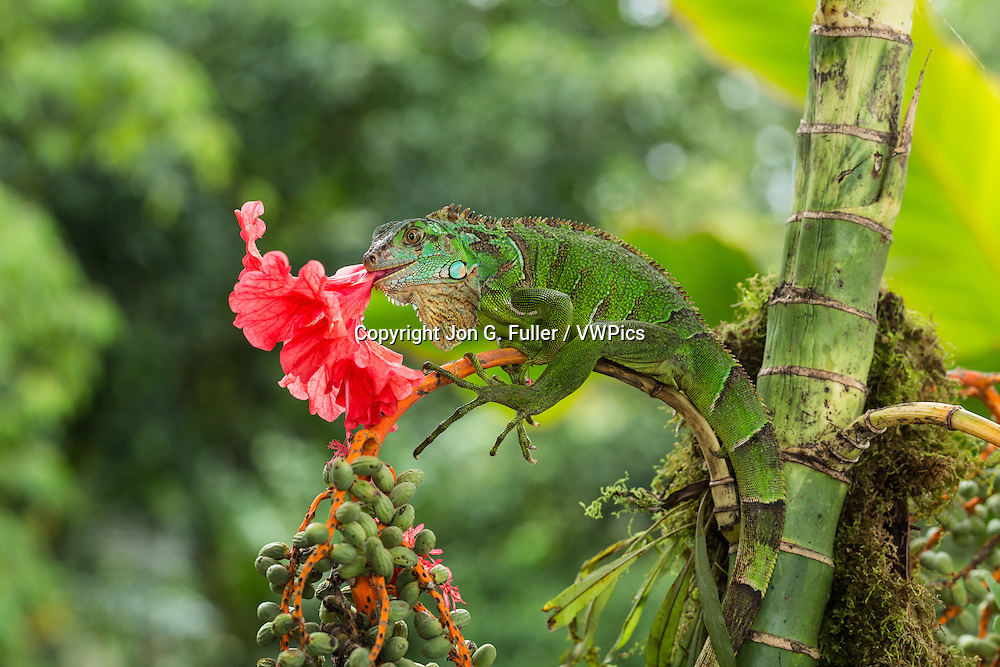 A juvenile Green Iguana,  Iguana iguana, eating a hibiscus flower in Costa Rica.  Iguanas are primarily herbivores.