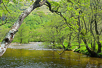 Birch trees along the River Nevis, Glen Nevis Scotland