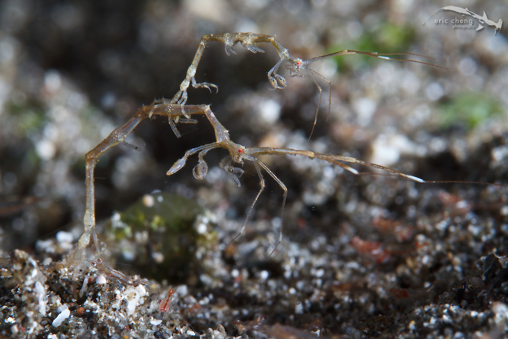 A small skeleton shrimp (Caprella sp.) hangs off of a larger one. Sizzler, Wai Verang, Lembata, Indonesia.