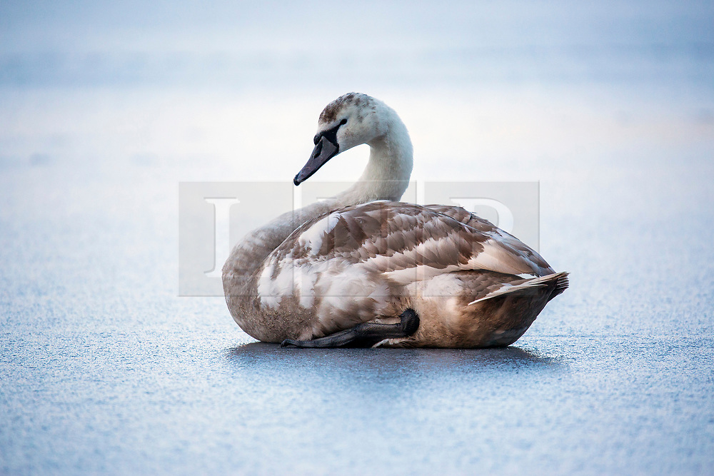 © Licensed to London News Pictures. 03/02/2019. Scarborough UK. A Cygnet sits on the frozen surface of The Mere this morning in Scarborough on the Yorkshire coast. Photo credit: Andrew McCaren/LNP