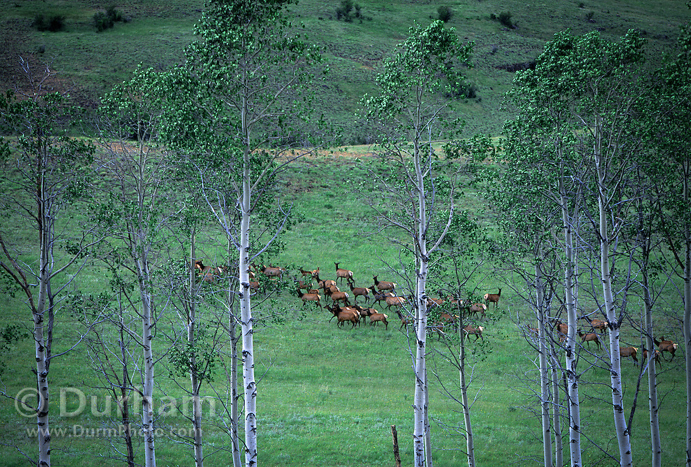A herd of rocky mountain elk (Cervus canadensis nelsoni) on the Nature Conservancy's Zumwalt Prairie Preserve, Oregon. Elk generally find it safer in the open as mountain lions and wolves will ambush them in forest settings.