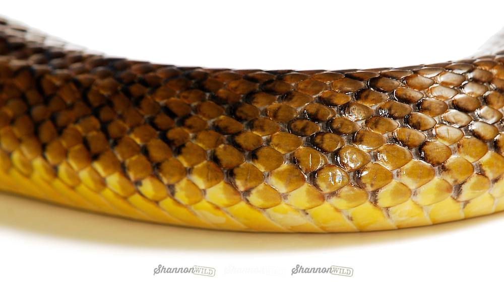 Inland Taipan (Oxyuranus microlepidotus) scales.  Also known as the Small Scaled Snake or Fierce Snake, native to Australia and is the most venomous land snake. Female.