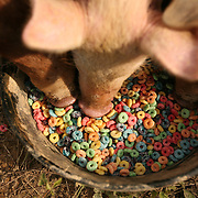 Pittsboro, NC - May 12: Pigs eat colorful cereal at the farm at Circle Acres. (Photo by Logan Mock-Bunting)