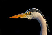 Portrait of Grey Heron | Portrett av Hegre