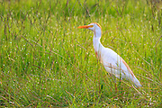 Cattle egret hunting for insects in the tall grass.