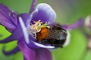 Humle på veg inn i en akeleiblomst. Akeleie (Aquilegia vulgaris) er en vakker flerårig blomst som tilhører soleiefamilien.  Planten regnes som svært gammel og har vært vanlig å finne i mange norske hager, der den er blitt plantet som prydplante. Akeleie har ikke sin opprinnelse i Norge, planten kommer opprinnelig fra Mellom- og Sør-Europa, og Nordvest-Afrika. Arten er fullt hardfør og var høyt verdsatt i bondehagene. Akeleien var hellig for middelaldermennesket under middelalderen og ble ofte avbildet som en kristen symbolplante eller Mariaurt. De karakteristiske honningsporene ble sett på som fem vanndrikkende duer og blomsten ble derfor tydet som et bilde av Den Hellige Ånd. Akeleie er siden blitt forvillet mange steder i landet og står ofte igjen på tuftene etter fraflyttede gårder og husmannsplasser. Akeleie kan også dukke opp forvillet langs veikanter, i gamle parker og prestegårdshager, ved kirkegårdsmurer, på fylleplasser og på gamle klostertomter. Den ble opprinnelig dyrket som medisinplante i klosterhager og Hildegard von Bingen nevnte den første gang i Norge på 1100-tallet. Den gang ble den sett på som en god medisinsk plante. Enkelte mente at den var febernedsettende og at den virket mot barnekramper og hovne lymfekjertler. Planten ble også brukt mot trangt bryst, vattersott og blodstyrtning. Frøet ble brukt mot gulsott og forstoppelse i leveren. Saften av planten anvendtes til å lege gamle sår og utslett. Saften ble også brukt til å utdrive døde fostre og mot øreverk. Den første nordmannen som tok medisinsk doktorgrad, Henrik Tonning, amanuensis i Trondheim, opplyste i 1773 om at frøene ble solgt på apotekene i Norge. Frøene ble brukt mot skabb og flass, men det ble advart om å utvise forsiktighet med doseringen, ellers kunne barn dø av dem. I nyere tid har undersøkelser av planten vist at den inneholder blåsyre, som er svært giftig og dødelig i små doser. Derfor anses planten for å være farlig til medisinske fo