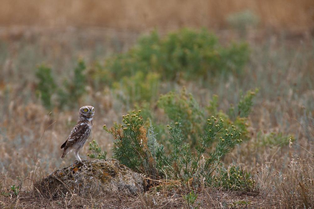 Little Owl sitting on the stones on steppe, Bagerova Steppe, Kerch Peninsula, Crimea, Ukraine
