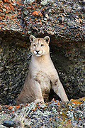 A mountain lion (puma) wakes up from its resting spot in a protected shallow cave.