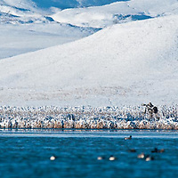 single photographer, photographing ducks on freezeout lake, snowy background
