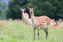 July 21, 2019 - Herd Of Deer(Cervidae) In Field (Credit Image: © John Short/Design Pics via ZUMA Wire)