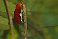 Male King Bird of Paradise (Cicinnurus regius) on his display vine.