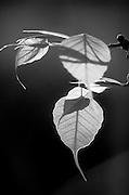 Bo Leaves. Anuradhapura
