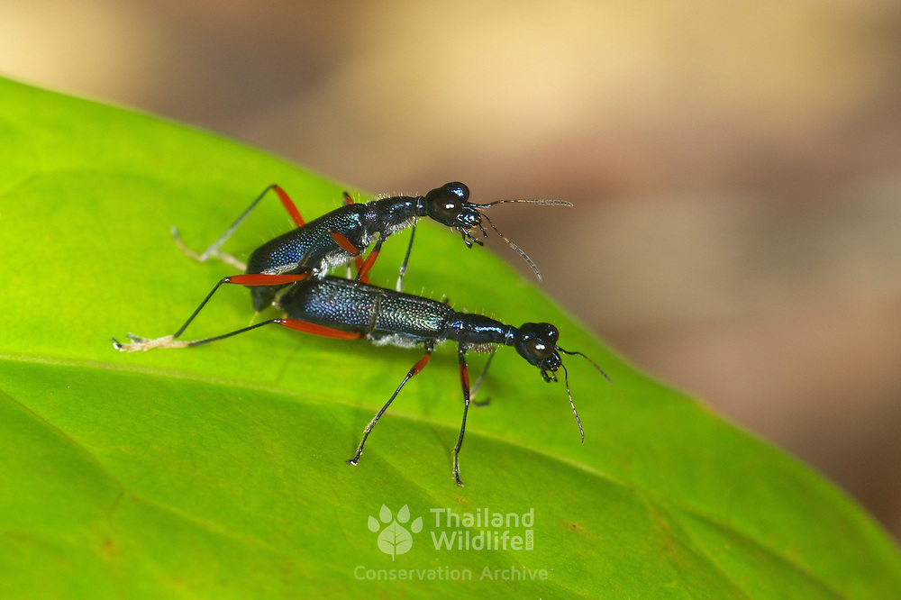Mating Neocollyris bonelli tiger beetles. Khao Yai National Park, Thailand.