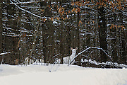 Albino Whitetail in Habitat