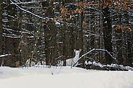 Albino Whitetail in Habitat