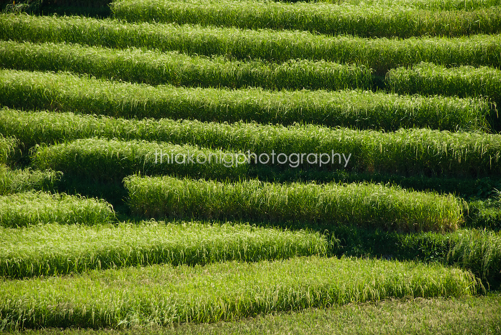 Graphic patterns of terraced rice fields, near Ubud, Bali
