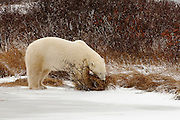 CANADA, Churchill (Hudson Bay).Polar bear (Ursus maritimus) feeding on vegetation