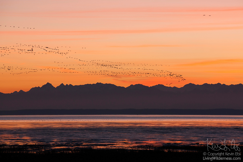 A large flock of snow geese fly over the Olympic Mountains and Skagit Bay in this view from the Skagit Wildlife Area in Washington state. Tens of thousands of snow geese winter in the Skagit River delta, located near Mount Vernon, Washington.