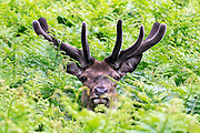 © Licensed to London News Pictures. 01/06/2015. Richmond, UK. A red deer with velvet covered antlers. Deer in Richmond Park, Surrey o the first day of Summer 2015. A Red Deer's antlers start growing in the spring from the age of 10 months, and they are shed or cast when testosterone levels fall in mid-March and April. Each successive year sees the Red Deer stag's antlers become longer and wider, with more points or 'tines'. Antlers are made of bone, and can grow at the rate of an inch per day.  While they are growing, the antlers are covered with 'velvet' which is a soft, blood-filled, bone-forming tissue and is very sensitive.  In July, the Red Deer's antlers have stopped growing and the velvet is shed by rubbing against trees and posts.  Photo credit : Stephen Simpson/LNP