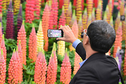 © Licensed to London News Pictures. 20/05/2013. London, UK A man takes a picture of a colourful display of Lupins. Press day at Chelsea Flower Show 2013. The centenary edition of the show attracts large number of visitors and is already sold out before opening day. Photo credit : Stephen Simpson/LNP