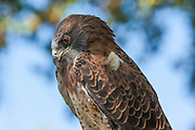 A male Swainson's Hawk (Buteo swainsoni) in its typical pose, watching for prey on the ground.