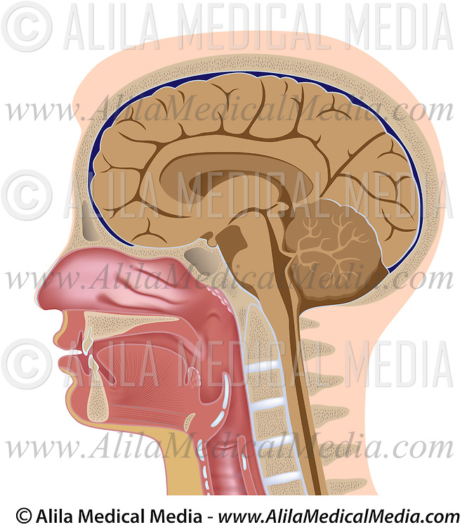 Median Section Of Human Head Alila Medical Images