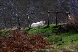 Sheep on hillside, Cad West, Machynlleth Loop, near Dolgellau, Wales, United Kingdom
