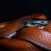 Pseudoboa neuwiedii, a constricting snake from Cocobolo Nature Reserve in Panama
