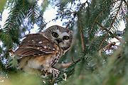 Saw-whet owl (Aegolius acadicus) perched in spruce tree.
