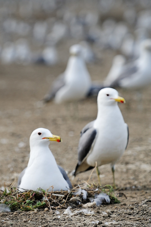 SFBBO Gull Count