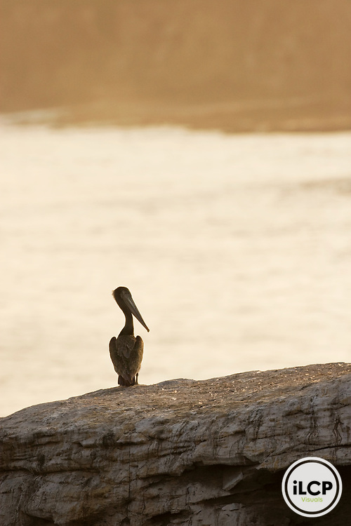 Brown Pelican (Pelecanus occidentalis) juvenile on rock at sunset, Santa Cruz, Monterey Bay, California