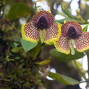Orchid (Telipogon species), Wayqecha Cloud Forest Biological Station, Andes Mountains, Peru