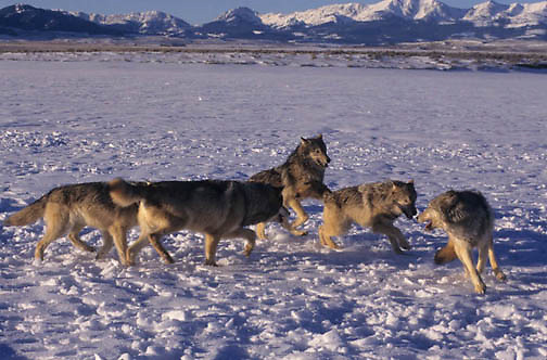 Gray Wolf, (Canis lupus) Pack greeting each other. Montana.  Captive Animal.