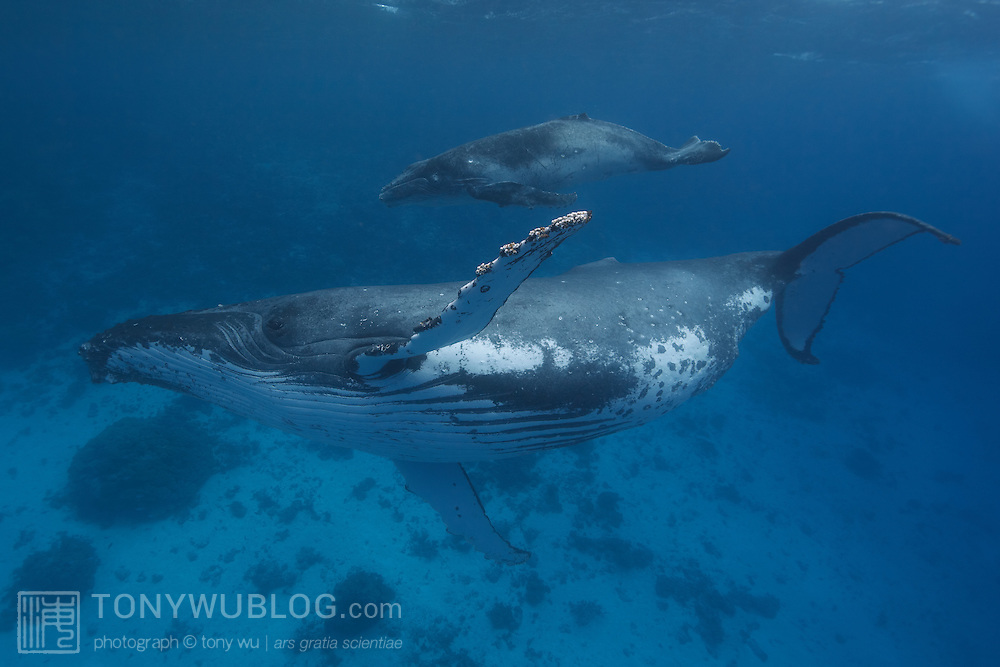 This is Tahaua, calf #12 of the 2011 humpback whale (Megaptera novaeangliae) season in Vava'u, Tonga with mom. Tahaua is a female calf, and this was the third of three encounters with this mother and calf pair.