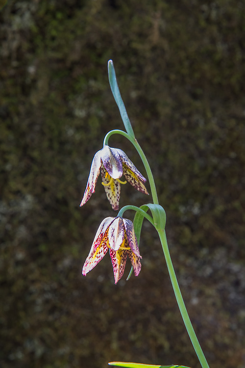 "Also known as the checker lily or mission bells, the chocolate lily (Fritillaria lanceolata - fritillaria refers the mottled or checkered pattern on the petals) is a native, somewhat uncommon to rare member of the lily family found in cool mid-elevation mountains to coastal forests ranging from Northern California to British Columbia, and as far east as Idaho. One the eastern side of the Cascade Mountains it can be found growing in open prairies and grassy bluffs. The chocolate lily grows from tiny rice-like bulbs and once was used as a food source to the indigenous people who have lived here for millennia. The Haida, a tribe from British Columbia when first introduced to rice, referred to this new food as ""fritillary-teeth."" These were part of a large colony found and photographed in the Olympic National Forest next to Lake Cushman on a bright and sunny May spring morning, just west of Hoodsport, Washington."