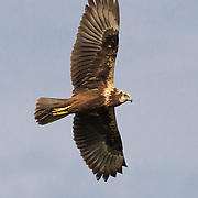 The eastern marsh harrier (Circus spilonotus) is a bird of prey belonging to the marsh harrier group of harriers.