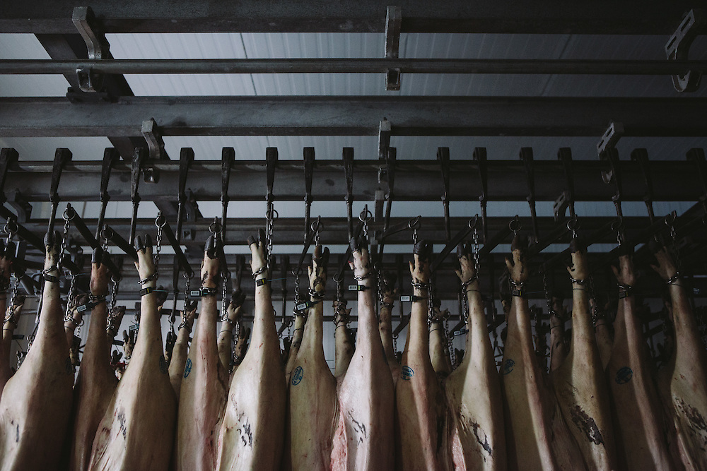 Pigs that have been slaughtered hang at the Sierra De Barbellido Plant, Extramadura (Barajoz Province), Spain.