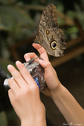 South America, Ecuador, Mindo.  Mindo Butterfly Farm.  Caligos butterfly on a boy's finger while he is taking a photograph.  MR