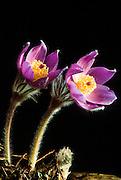 Alaska.  Pasque flower (Pulsatilla patens).