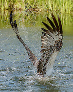 Water sprays from osprey wing as its starts up from pond, © 2015 David A. Ponton