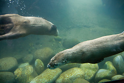 North America, United States, Washington, Seattle, river otters at Woodland Park Zoo