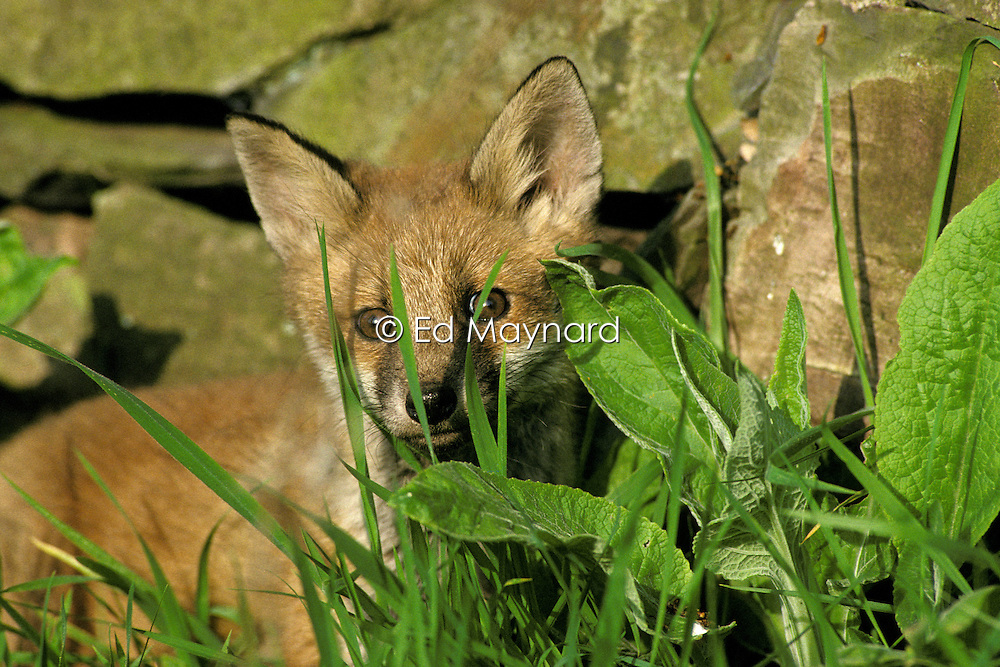 Red fox cub (vulpes vulpes), looking through long grass and undergrowth, Leicestershire, England, UK.