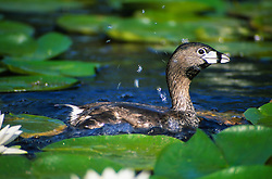 Pied Billed Grebe (Podilymbus podiceps), Duck Bay, Seattle, Washington, US