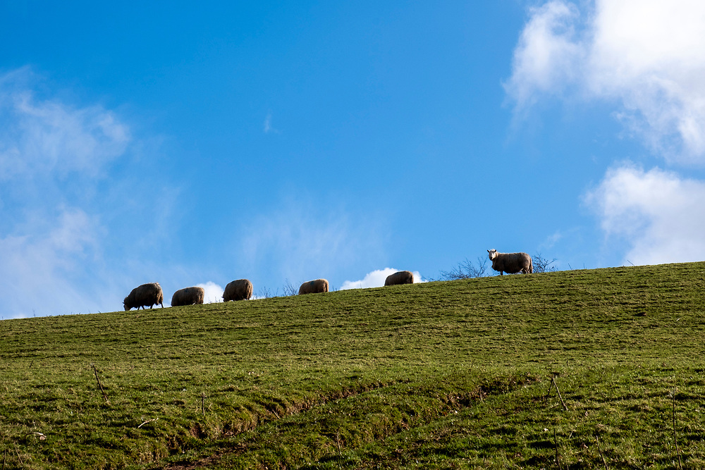 Sheep grazing in a hill field on the estate of Carreg Cennen Castle, Trapp, Brecon Beacons, Powys, UK.  It is a clear day with big blue sky and white clods . (photo by Andrew Aitchison / In pictures via Getty Images)