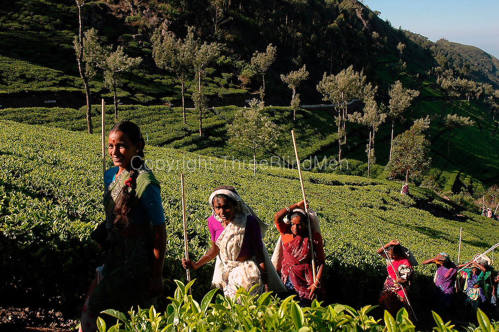 Tea Estate workers climbing up Dambetenne to begin a days work.