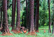 Whitetails in western larch forest, Yaak Valley, Northwest Montana, August, 2005.