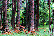 Whitetails in western larch forest, Yaak Valley, Northwest Montana, August, 2005.