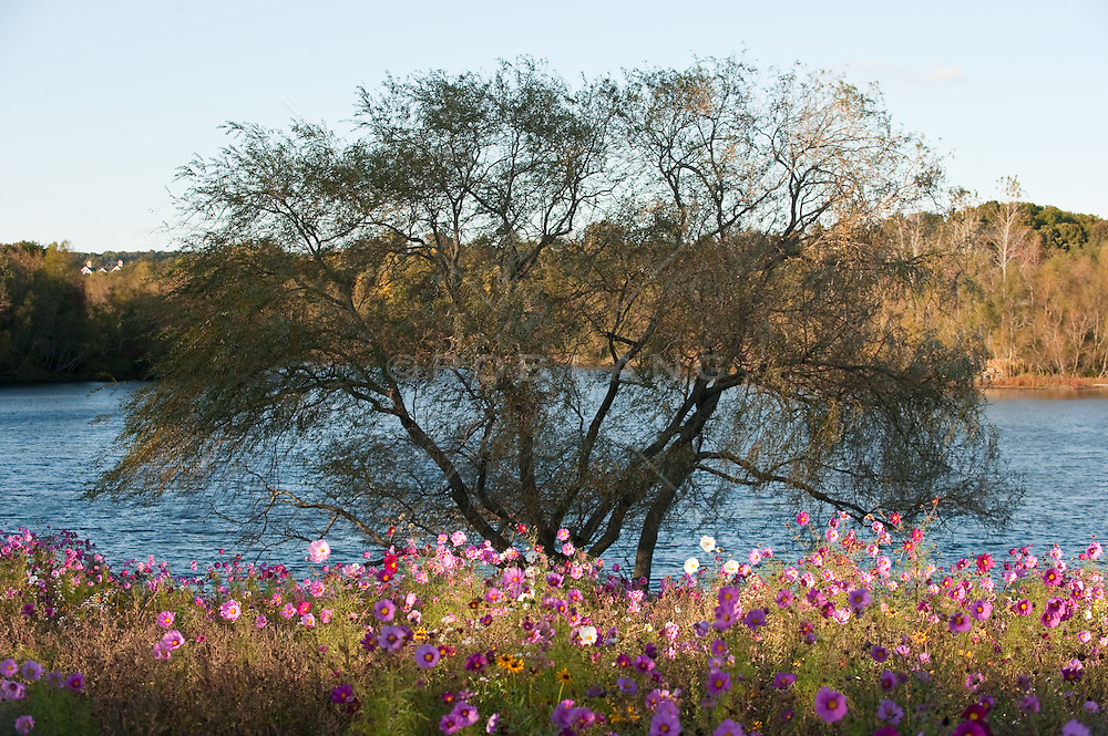 Wildflowers and a Tree by a lake in East Hampton, NY