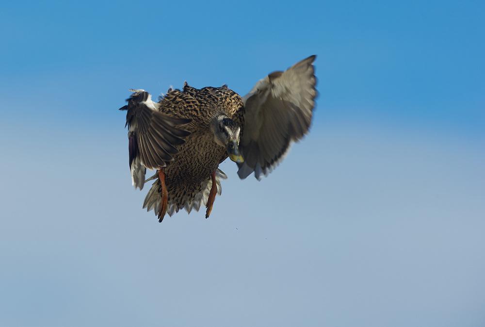 Hen mallard landing in a group of ducks