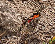 Painted lady butterfly (Vanessa cardui). The Cynthia group of colourful butterflies (painted ladies) comprises a subgenus of the genus Vanessa in the family Nymphalidae. Green River Lakes, Wind River Range, Bridger-Teton National Forest, Rocky Mountains, Wyoming, USA.